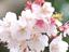 【食品】お花見の買い出しに悩んだら! サクラ色で盛り上がるドリンク&スナック
