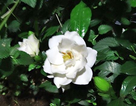 これがくちなしの花。スイートな香りが特徴