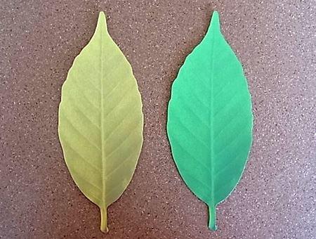 温度によって色が変わった2枚の葉っぱを並べてみました