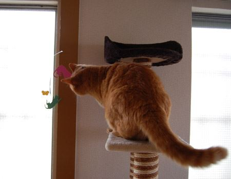いつになくアグレッシブなアンジ(猫)