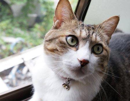 ナックル家のネコ「十兵衛」くん7歳