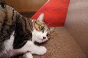 ネコちゃんが壁でツメ研ぎしてしまう…そんな悩みはこれで解決!