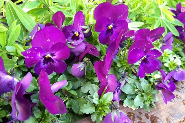 花の紫色と葉の緑色がくっきりと出ていて、発色も良好だ