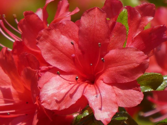 さらに60倍(1440mm相当)にするとツツジの花が画面いっぱいに大きくなりました