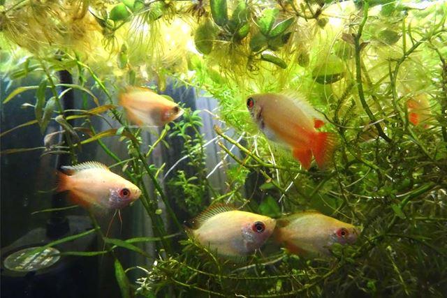 定番人気種の「ゴールデンハニードワーフグラミー」の幼魚を1匹ずつ。いずれも自家繁殖したものです