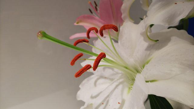 10cmくらいまで寄って、中央の雄しべにフォーカスを合わせた。花粉の細かな質感がよく表現されている