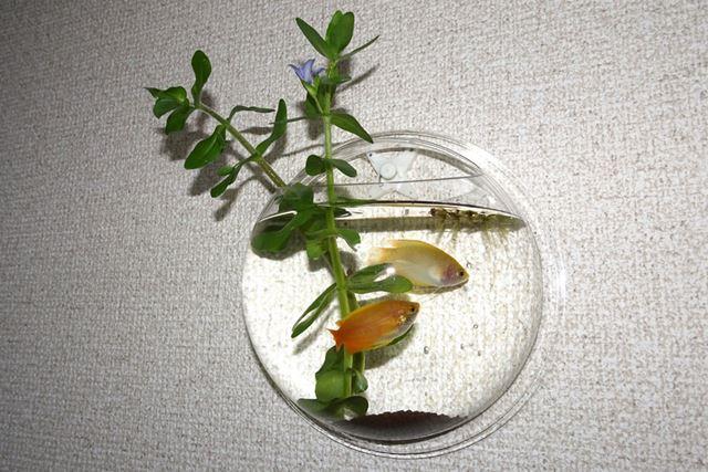 金魚くらいのサイズのお魚は、ちょっと窮屈そうです…