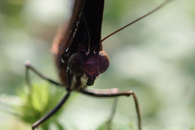 迷チョウとして沖縄県でよく見つかるリュウキュウムラサキ(チョウ目タテハチョウ科)の頭部