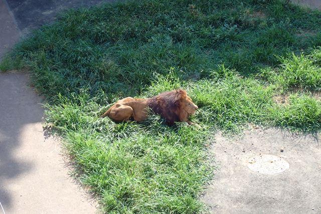 ヒマそうにしていたライオン。30〜40m離れた場所にいたため、標準レンズのズームだとこれが限界