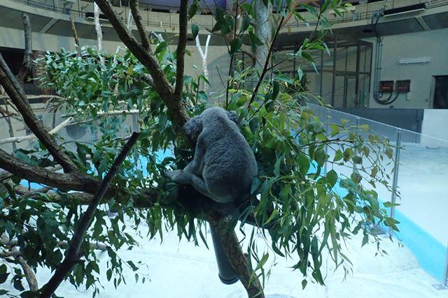 ガラス越しに撮影したコアラの背中。なんかシュール