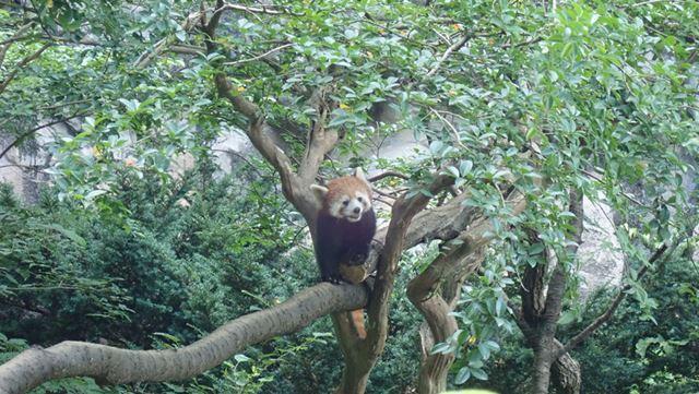 レッサーパンダ、かわいい
