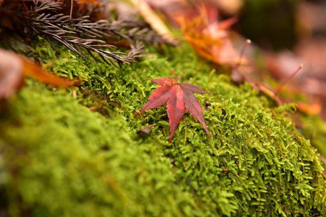 紅葉がちょうど真っ赤に色付いたところで、いたるところが撮影スポットになっていました