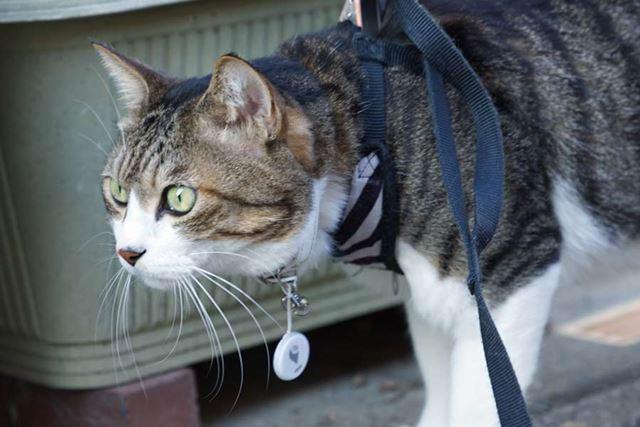 ウチのネコは保護者が同伴しないと外出しないので、今回は特別に装着してもらいました