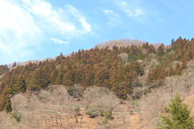 気温の高まりに比例して花粉の飛散量も激増する3月初旬、杉の木が生い茂る奥多摩エリアへ!(涙)