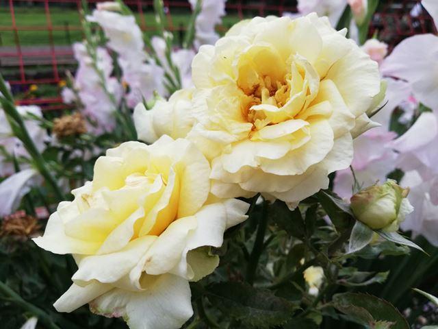 曇天下で白いバラを撮影。階調表現が難しい被写体だが、ハイライト部分の白飛びは最小限に抑えられている
