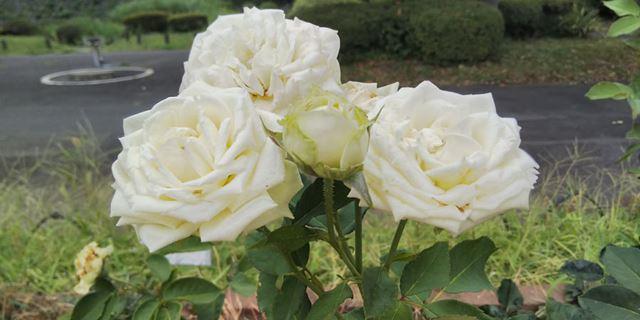 白いバラを撮影。ホワイトバランスは、実際の色に近い仕上がりだ