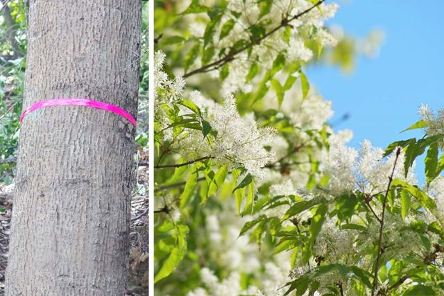 アオダモの幹と花