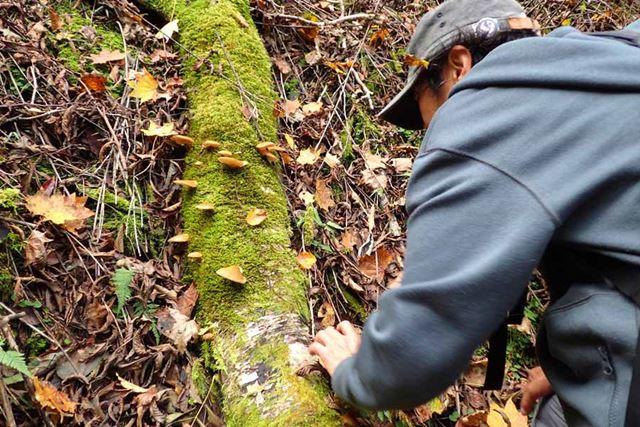 倒木にポコポコと生えたムキタケ