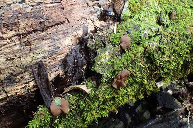 アラゲキクラゲの幼菌。中華食材のキクラゲって海のクラゲじゃないんですよ