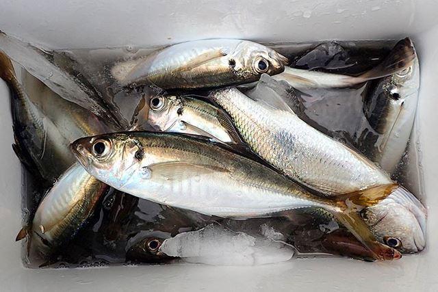 しえるさん、お見事。クーラーボックスにはたっぷりの氷と、魚がつかるくらいの海水を入れてください