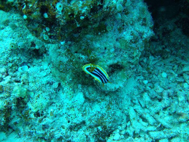 水深12mほどで撮ったウミウシ。白・黒・黄色の配色もパッキリととらえた