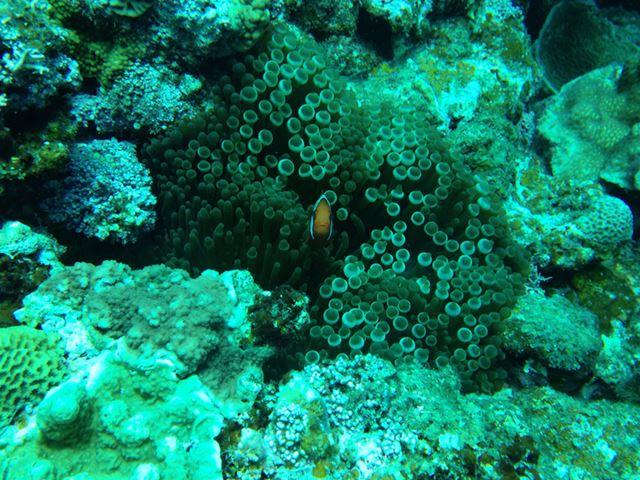 水深10mほどで撮ったクマノミ。クマノミが小さくてよく見えないが、あとで拡大すればOKだ