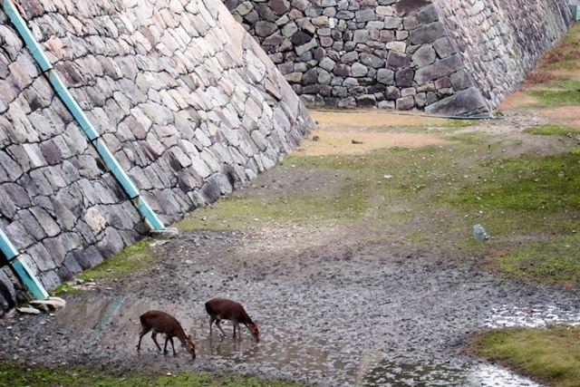 戦後の全盛期は約60頭もいたが、現在は母娘の2頭のみ