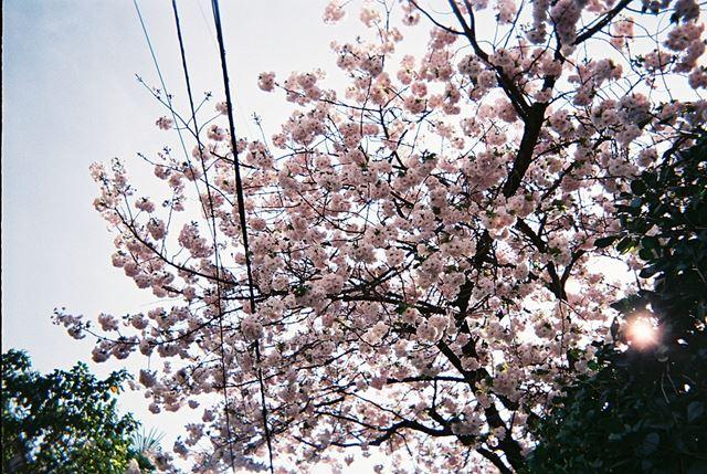 まだ咲いていた桜。目で見たときよりも赤みがあるような気がします