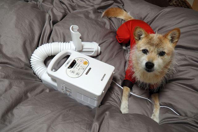 我が家の犬もフカフカの布団が大好き。布団乾燥をかけた後は、かならずベッドにくつろぎに来ます