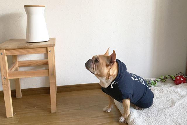 「おやつ、でるの?」 モニター犬:ルールー(フレンチブルドック・メス・7歳)
